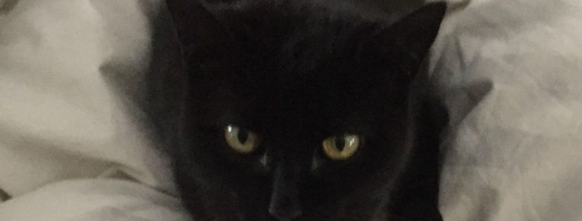 Photo of Cat Missy for Happy Tails