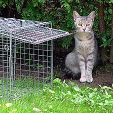 Cat next to humane trap used for TNR programs